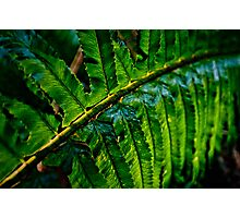 Fern, Backlit Photographic Print