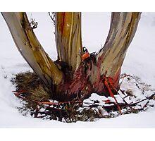 Triple-trunked snowgum Photographic Print
