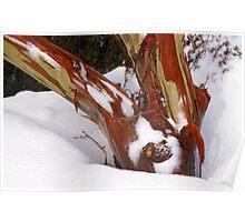 Snowgum bark trunk in snow Poster