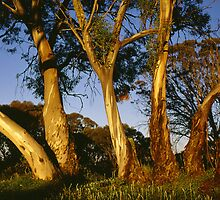 Golden snowgums, Victoria Alps by Speedy
