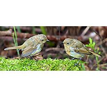 Fledgling robins Photographic Print