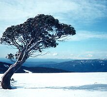 Snowgum bent over in winter by Speedy