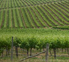 Vineyards 4 by fotoWerner