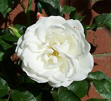 White Rose of Summer by LoneAngel