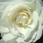 Pure Petals by Jess Mo