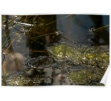Banded Water Snake Poster