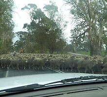 Moving a large mob of sheep. Barossa Valley, S.Aust. by Rita Blom