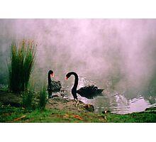 Swans,Daylesford Photographic Print