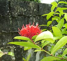 Red Jamaican Flower and Wall by SylviaS