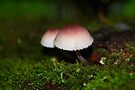 Twin Peaks - Pink and White Mushroom Duo by MotherNature
