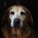 The ageing labrador by Alan Mattison