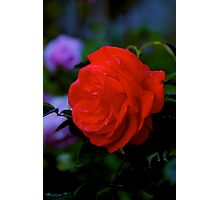 Red Rose at Twilight #3 Photographic Print