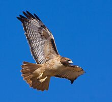 1101096 Red Tailed Hawk by Marvin Collins