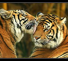 Bengal tigers by batch