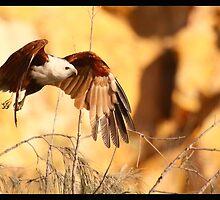 Brahminy Kite by batch