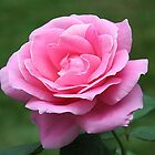 Classy Pink Rose by JaneLoughney