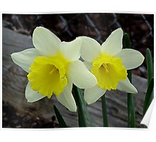 A Pair Of Daffodiles In Spring Poster