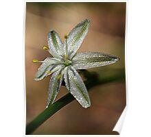 Pale Grass Lily (Caesia parviflora) - Moe, Gippsland Poster