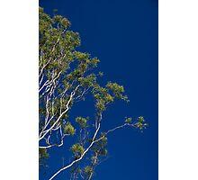 Gum tree on blue sky Photographic Print