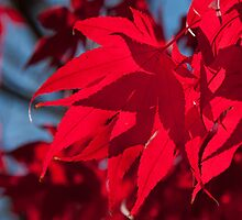 Scarlet Leaf from Below by MichaelWilliams