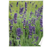 Ladybird and Lavender Poster