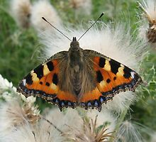 Small Tortoiseshell Butterfly by shiro