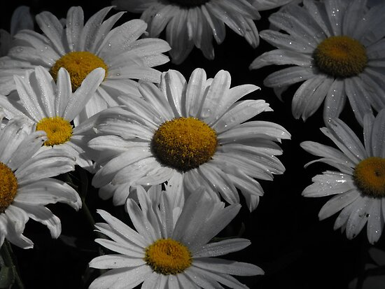 Oxeye Daisy's After A Rain by Tracy Faught