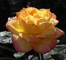 chameleon rose by Floralynne
