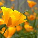 californian poppy by Floralynne