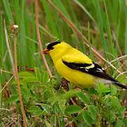 Yellow Finch with a Hat by Sam Davis