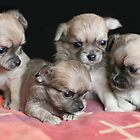 Adorable Chihuahua Babies by MayJ