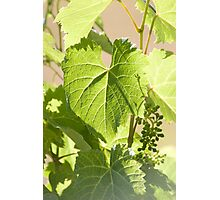 Young Grapes Photographic Print