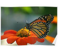 Monarch Butterfly on Orange Zinnia Poster