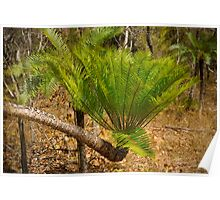 Cycad palm fronds in Kakadu NP, NT Poster