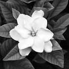 Black and White Gardenia by Melissa Brett
