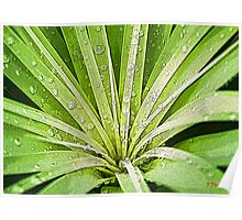 In My Garden - Raindrops on the Ponytail Palm Poster