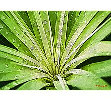 In My Garden - Raindrops on the Ponytail Palm Photographic Print