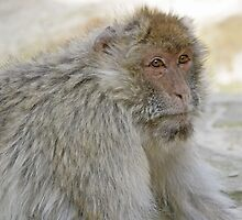 The Macaque  (Monkey series 4) by John44