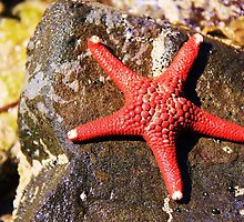 Red Star of the Sea by Rhonda F.  Taylor