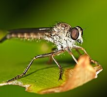 Robber Fly by Andrew Widdowson
