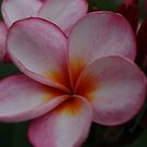 Pink and Gold Frangipani by Keith G. Hawley