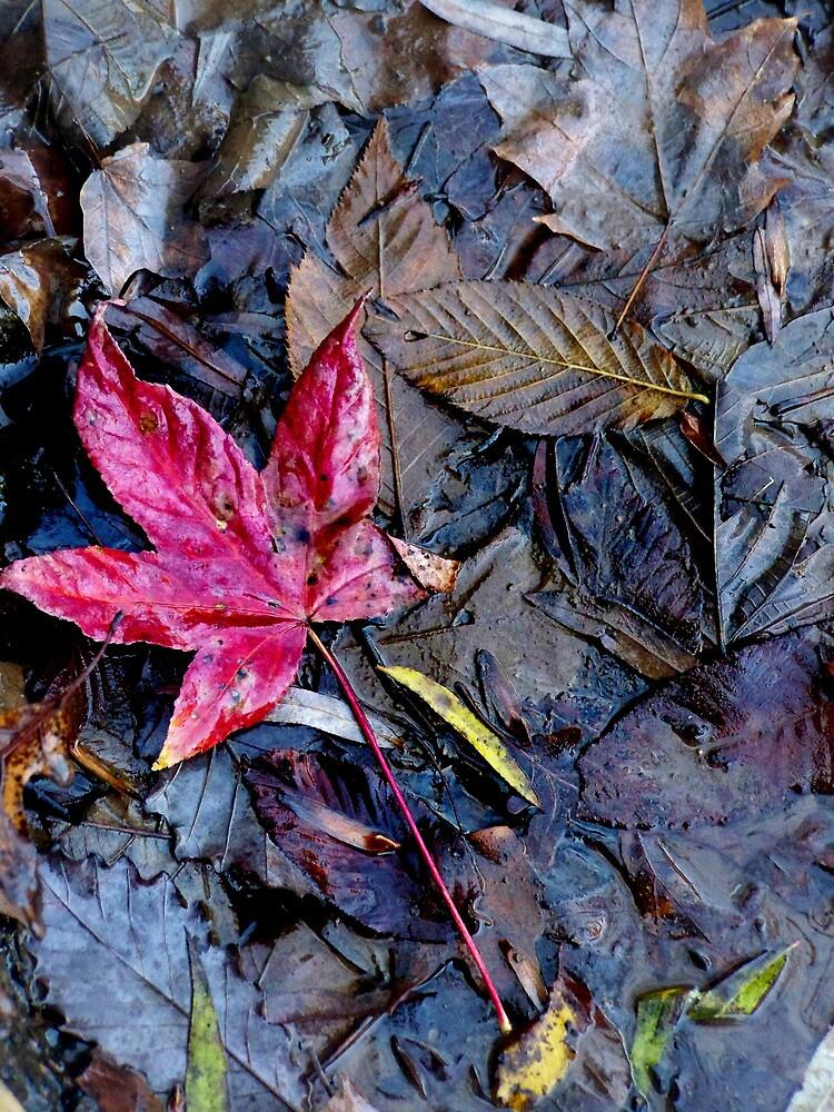 Fall Sweetgum by MaryCatherine27