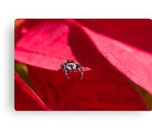 Australian garden spider Canvas Print