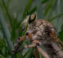 Robber Fly (Asilidae) 1 by WantedImages