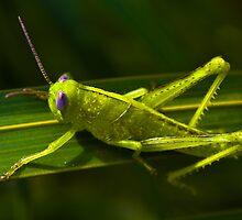Grass Hopper by WantedImages