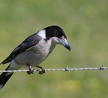 BUTCHER BIRD by Helen Akerstrom Photography