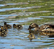 Mama Mallard with her Ducklings by Jan  Tribe