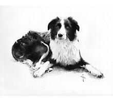 Collie Photographic Print