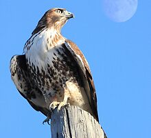 Red-Tailed Hawk and Moon by Wing Tong