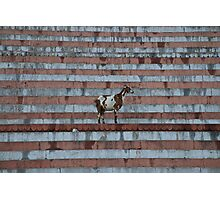 Goat on steps Photographic Print